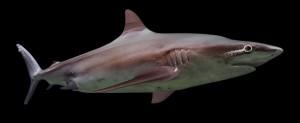shark-3d-free